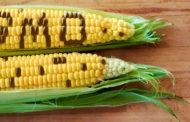 Come riconoscere gli OGM
