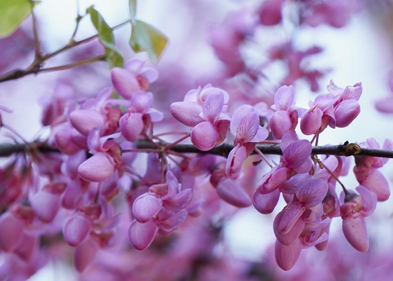 albero di giuda significato e simbologia