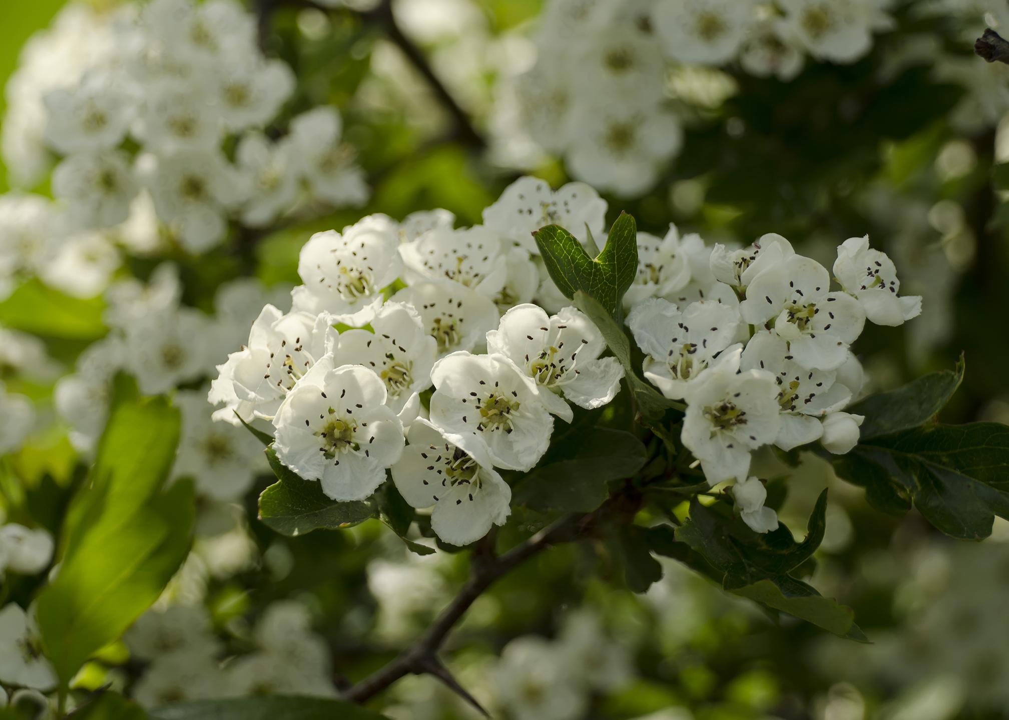 Albero Con Fiori Bianchi biancospino | significato, simbologia e linguaggio del