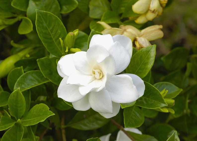 gardenia significato e simbologia
