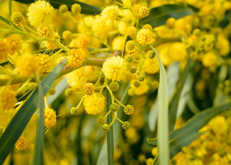 mimosa significato e simbologia