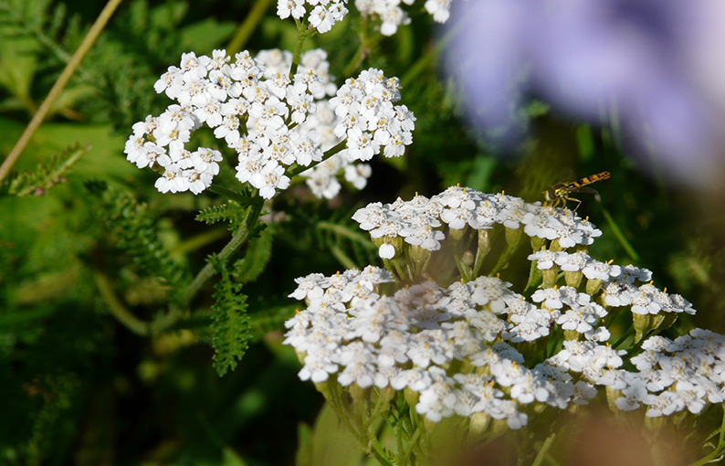 achillea proprietà e benefici