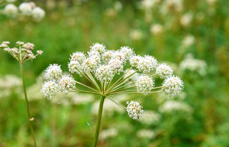 angelica proprietà e benefici