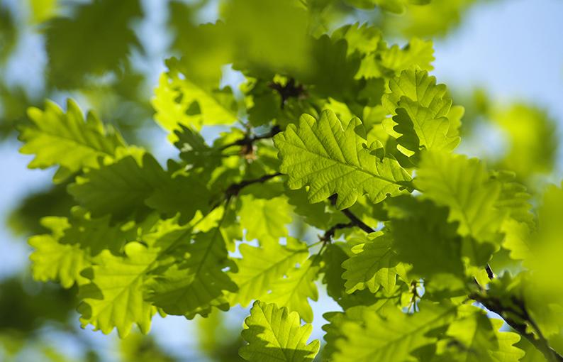 oak proprietà e benefici