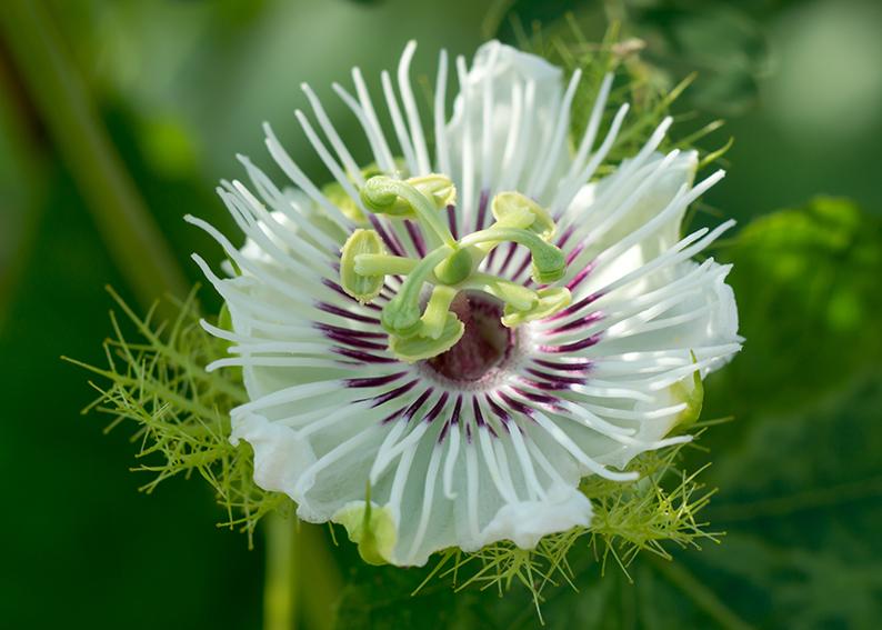 passiflora significato e simbologia