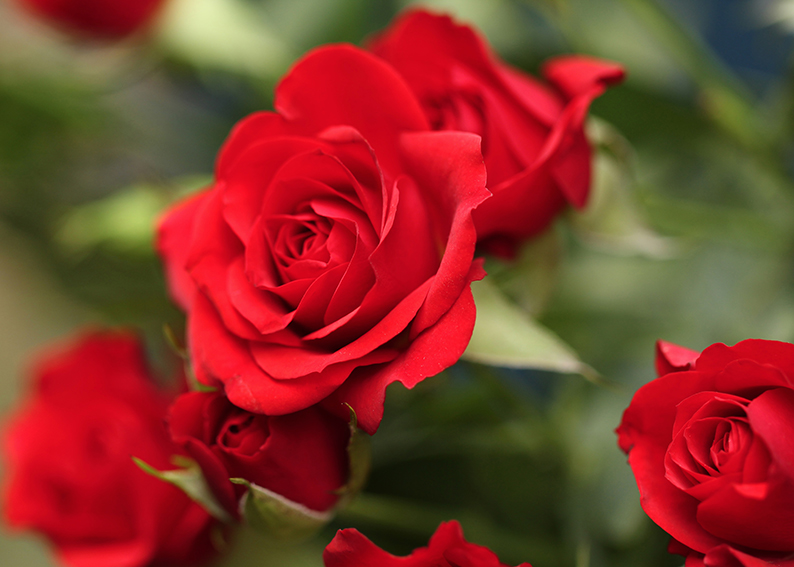 Nomi Di Fiori Rosa.Rosa Significato Simbologia E Linguaggio Della Rosa