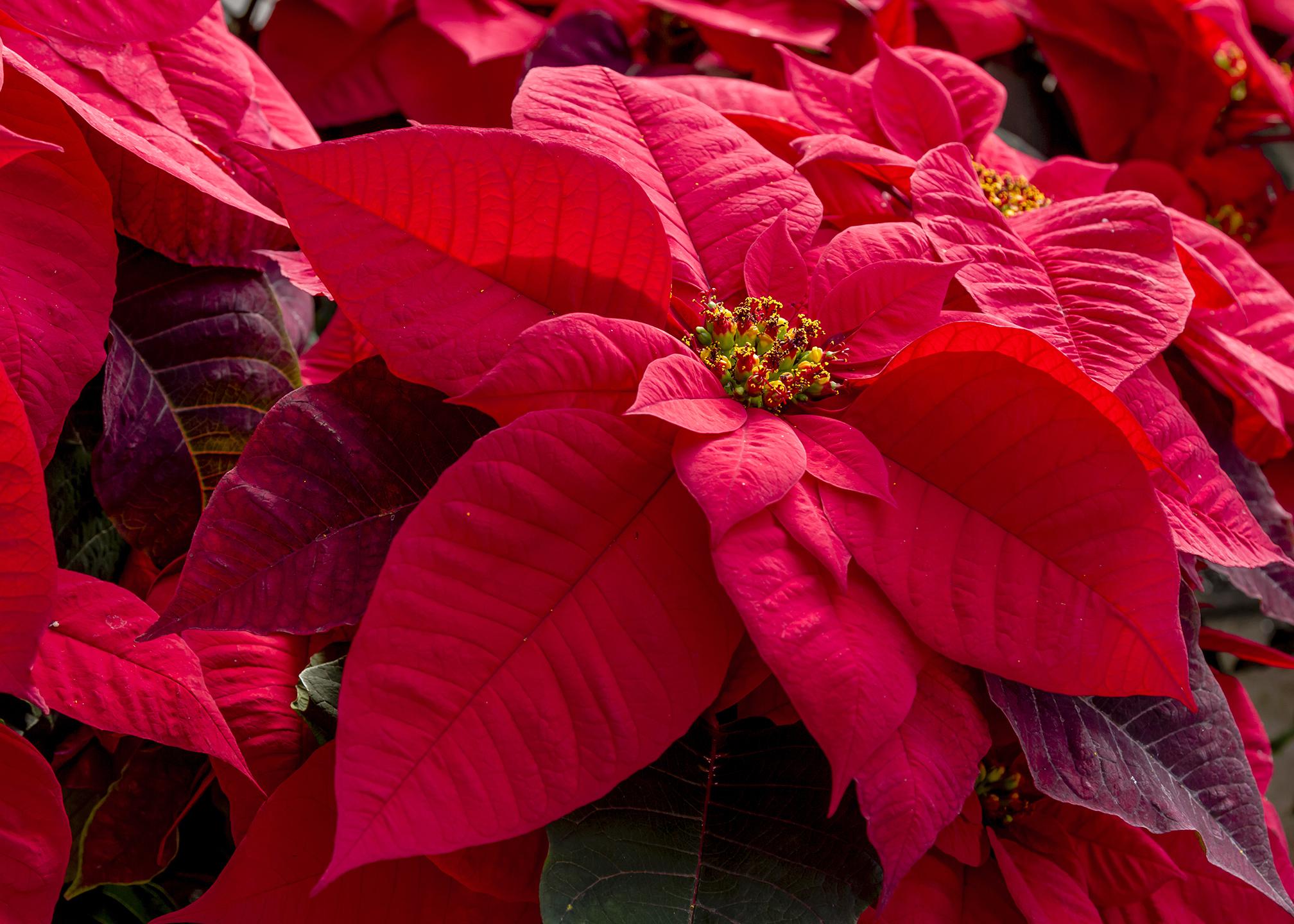 Stelle Di Natale Da Costruire stella di natale | significato, linguaggio e simbologia
