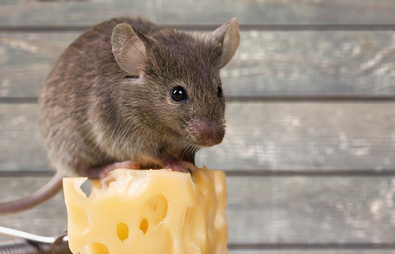 musofobia paura dei topi e ratti