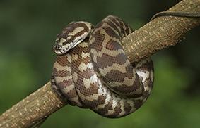 ofidiofobia paura dei serpenti