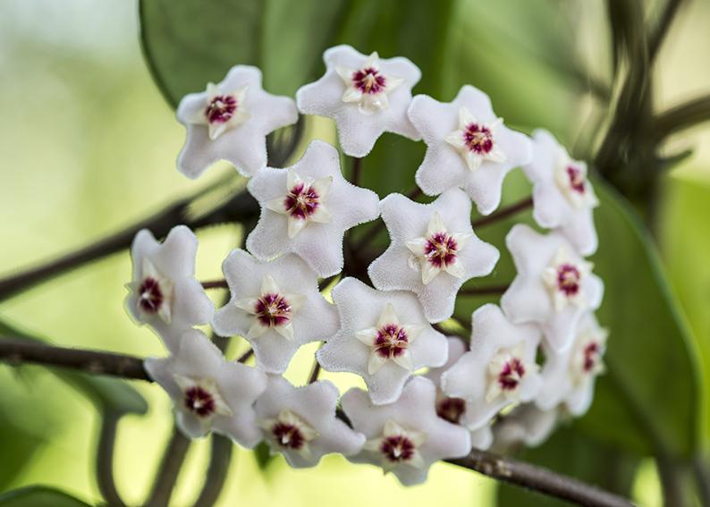 fiore di cera significato e simbologia